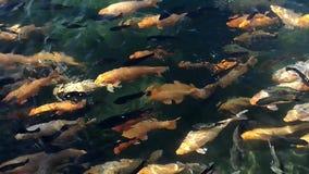 Natural koi fish movement. On natural pond or lake stock footage