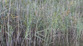 Natural Lake With Reed And Nature Voice Birds Voice stock video