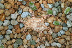 Natural Lambis Chiagra Spider Shell on the Pebble Stone Ground stock photos
