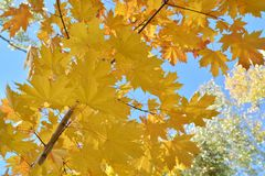 Yellow maple leaves park autumn sunny Russia royalty free stock photos