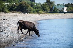 The natural landscape with the brown cow on the pebbly beach, drinking water. Out of a calm blue sea Royalty Free Stock Image