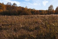 Natural landscape. The edge of the meadow and the forest. Golden autumn, Sunny day, yellowed grass and trees. Feathery clouds in the blue sky stock image