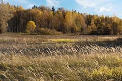 Natural landscape. The edge of the meadow and the forest. Golden autumn, Sunny day, yellowed grass and trees. Feathery clouds in the blue sky royalty free stock photo