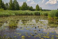 Natural landscape - forest lake with white lilies stock image
