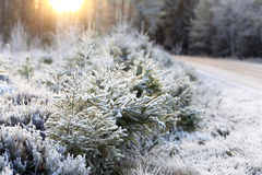 Natural Landscape of Frosted Forest and Winter Sun. Landscape of frost covered trees and forest floor in winter sunlight in Finland. Shallow depth of field Royalty Free Stock Photo