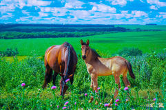 A natural landscape. Horses on pasture. Stock Images