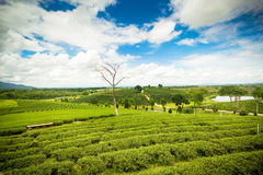 Natural landscape of tea planation on the moutain in Chaingrai p Royalty Free Stock Images