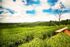 Natural landscape of tea planation on the moutain in Chaingrai p Stock Images