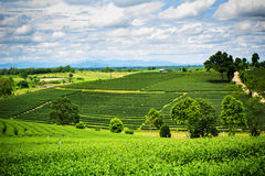Natural landscape of tea planation on the moutain in Chaingrai p Royalty Free Stock Photography