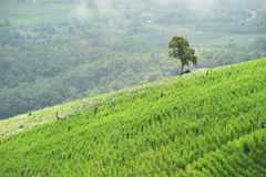 Natural landscape view of corn field and rice field over the mountain in Chiangmai Stock Photos