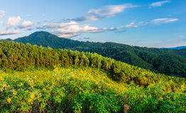 Natural landscape view of Tithonia diversifolia field Stock Images