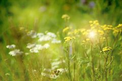 Green meadow width yellow flowers. The rays of the sun brighten the meadow. stock photography