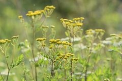 Green meadow width yellow and white flowers. The rays of the sun brighten the meadow. royalty free stock photo