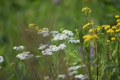 Green meadow width yellow and white flowers. The rays of the sun brighten the meadow. royalty free stock photos