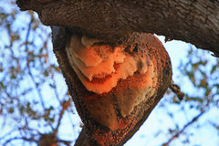 Natural Large Bee Hive in the canopy of a tree in South Luangwa, Zambia Stock Photos