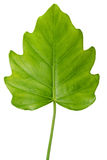 Natural large jungle rain forest green leaf, philodendron isolat Stock Photo