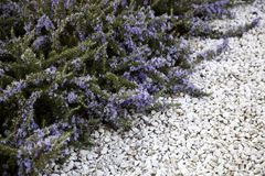 Natural lavender flowers. Native lavender flowers, landscape in garden summer violet field herbal natural blue purple aroma nature beauty provence blooming plant royalty free stock images