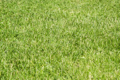 Natural lawn grass. Green background Royalty Free Stock Photos
