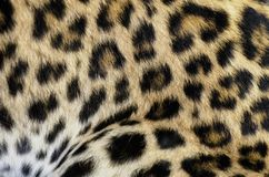 Leopard fur bacground. Natural Leopard fur bacground closeup Royalty Free Stock Images