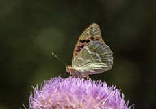 Natural life; butterfly in nature. Fauna / flora concept.  royalty free stock photos