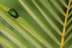 Natural lighting photo of cetonia beetle on green palm leaf with shallow DOF Royalty Free Stock Photos