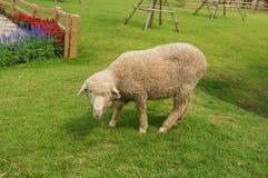 Natural Living Sheep Royalty Free Stock Photos