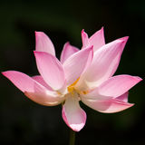 Natural lotus blooms Royalty Free Stock Images
