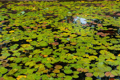 Natural lotus pond Royalty Free Stock Photography