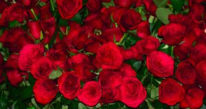 Natural lovely red roses Stock Images