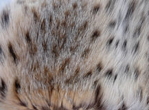 Natural lynx fur Stock Image
