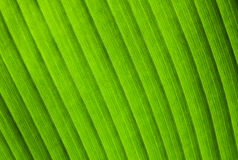 Natural macro photo background with green leaf texture Stock Photo