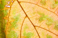 Natural macro view maple leaf Stock Photos