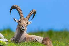 Natural male alpine capra ibex capricorn blue sky green meadow stock photography