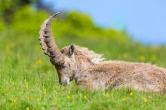 Natural male alpine capra ibex capricorn relaxing green meadow. Eyes closed stock photography