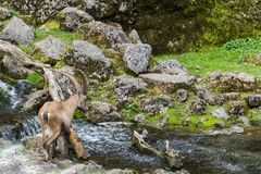 Natural male alpine ibex capricorn crossing stream. In mountains royalty free stock image