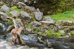Natural male alpine ibex capricorn crossing stream royalty free stock image