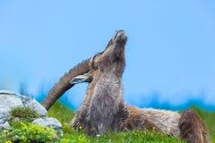 Natural male alpine ibex capricorn in meadow scratching itself. Natural male alpine ibex capricorn in meadow blue sky scratching itself stock photo