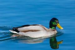 Male mallard duck anas platyrhynchos mirrored in blue water. Natural male mallard duck anas platyrhynchos mirrored in blue water Royalty Free Stock Images