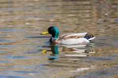 Male mallard duck anas platyrhynchos, sunshine, water, reflect. Natural male mallard duck anas platyrhynchos, sunshine, water, reflections Royalty Free Stock Images