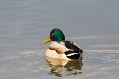 Natural male mallard duck anas platyrhynchos swimming. Back view natural male mallard duck anas platyrhynchos swimming Stock Photos