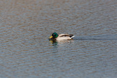 Natural male mallard duck anas platyrhynchos swimming. In water Stock Image
