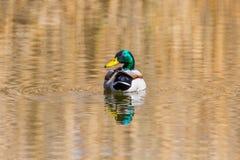 Male mallard duck anas platyrhynchos in water, looking back, s. Natural male mallard duck anas platyrhynchos in water, looking back, sunshine Stock Photo