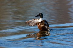 Male northern shoveler duck anas clypeata in water, spread win. Natural male northern shoveler duck anas clypeata in water, spread wings Royalty Free Stock Photo