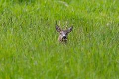 Male roe deer buck capreolus capreolus hidden in meadow. Natural male roe deer buck capreolus capreolus hidden in meadow royalty free stock photography
