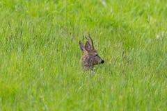 Male roe deer buck capreolus capreolus lying in meadow. Natural male roe deer buck capreolus capreolus lying in green meadow stock photography