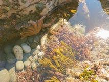 Natural marine life orange star fish. Over seacoast royalty free stock photo