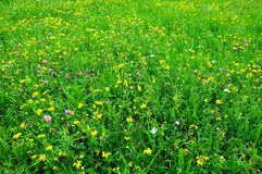 Natural meadow. Grass meadow with wild flowers Royalty Free Stock Photo