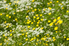 Natural Meadow. With abundance of wild flowers Stock Photos