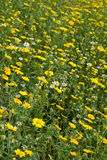 Natural Meadow. Vista of flowers in a natural meadow royalty free stock photos