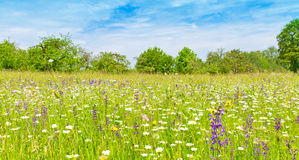 Natural meadow with herbs and flowers in spring. Colorful herbs and flowers on a natural meadow in Germany Royalty Free Stock Photo